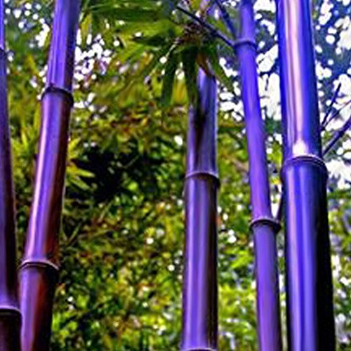 (Black Purple Bamboo Seeds, 50Pcs Giant Phyllostachys Moso-Bamboo Seeds Timber)