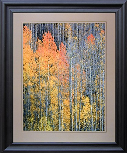 Impact Posters Gallery Forest Aspen Framed Wall Home Decor Tree in The Fall Willard Clay Nature Black Picture Art Print