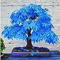 20pcs Blue Japanese Maple Tree Bonsai Seeds Acer Palmatum Atropurpureum
