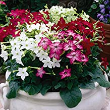 Winged Tobacco Seeds Mix (Nicotiana alata) Fragrant Annual Flowers