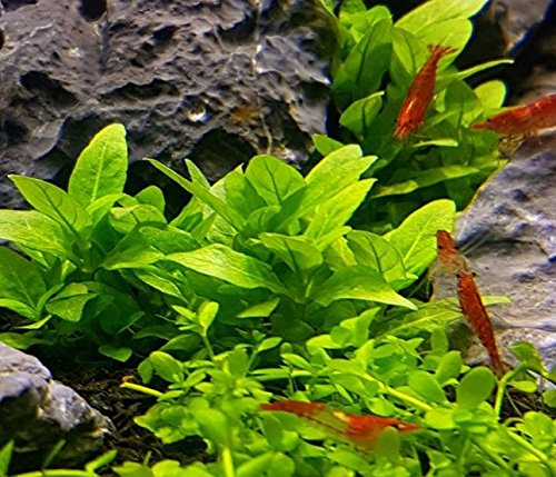 Amazon.com Staurogyne Repens Carpet Freshwater Bundle Live Aquarium Plant Decorations By Mainam Pet Supplies & Amazon.com: Staurogyne Repens Carpet Freshwater Bundle Live ... azcodes.com