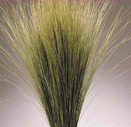 Dried Dune Grass - Natural Large 8 oz bunch Height 34-35in. -- Single Bunch - Natural - Dried Grass