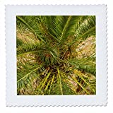 3dRose Danita Delimont - Trees - Spain, Canary Islands, La Gomera, Vallehermoso, palm tree detail - 22x22 inch quilt square (qs_257882_9)