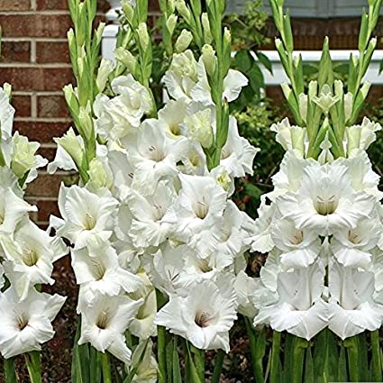 Kraft seeds kraft seed gladiolus white flower bulb amazon kraft seeds kraft seed gladiolus white flower bulb mightylinksfo