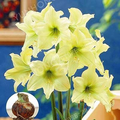 2 Pcs/Bag Light Green Hippeastrum Rutilum Bulbs Bonsai Flower Plant Bonsai Potted Bonsai Rare Flower Garden.(Bonsai): Garden & Outdoor