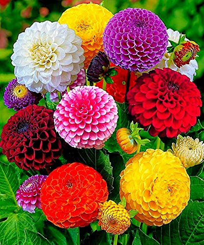 Seeds Dahlia Pompon Mix Flower Annual Beautiful Outdoor Garden Cut Organic Ukraine ()