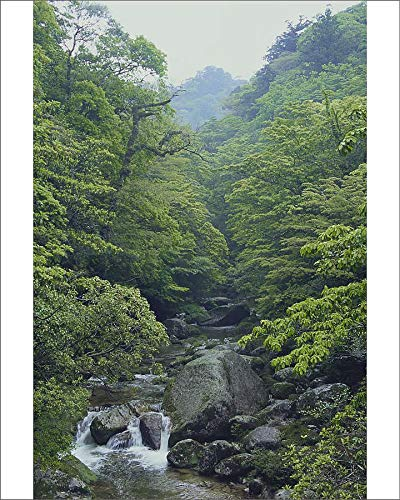 Media Storehouse 10x8 Print of A Stream Flowing Through Dense Virgin Forest in The Shiratani Unsuikyo (18990859)