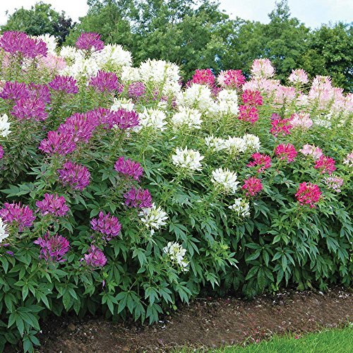 4 Color Custom Mix Spider Flower Blend(Cleome)Hot Pink,Hot Purple,Bi-color,White