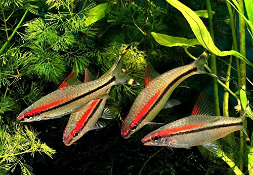 Live Freshwater Aquarium Fish - Large (1 to 2 inch Red Line Torpedo Barbs/Denison - Live Tropical Fish - Great for Aquariums by WorldwideTropicals