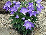 Balloon Flower Goluboy - 200 Seeds - Organically Grown - NON-GMO