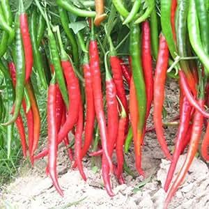[Envio Gratis] BML© 5pcs gigantes semillas pimiento rojo hasta 40cm de largo // 5PCS Giant Red Capsicum Seeds Up To 40CM Long