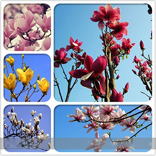 Solution Seeds Farm Heirloom Chinese Red Yellow Pink White Yulan Magnolia denudata Fragrant lilytree 10 Seeds (Mixed)
