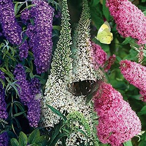 Butterfly Bush- Mix Colors- 50 Seeds