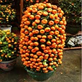 Seeds Shopp - 10 seeds Balcony Patio Potted Fruit Trees Planted Seeds Kumquat Orange Tangerine Citrus New Arrival !