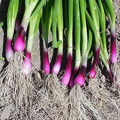 KOUYE GardenSeeds- Onion Seeds Winter Onion Bulbs Spring Onions Vegetable Seeds Hardy Perennial Seeds Vegetables Seed Allium Seed : Garden & Outdoor