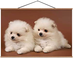 Two Puppies of The Spitz Dog in Studio On A Neutral,Magnet Print Poster for Home 24X12In