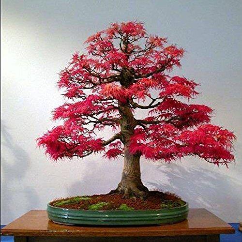 20pcs Rare American Red Maple Bonsai Tree Fresh Viable Seeds Pot - Leaf Contacts Pot Eye