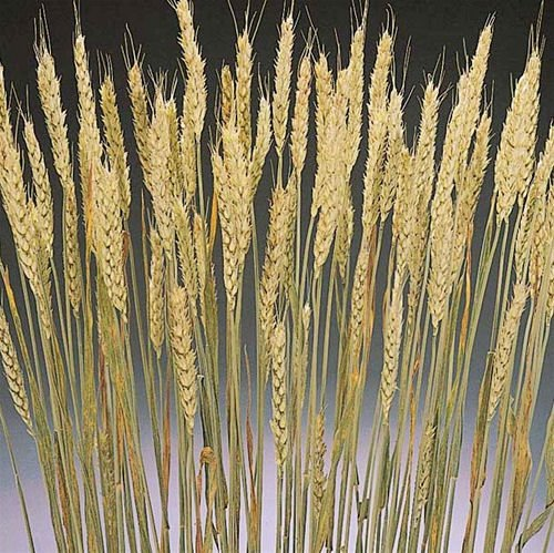 Rye Bundle 6 oz Wheat Bundle 30-40 stems Light green - Blond -- Case of 20 bunches - Short by CCC