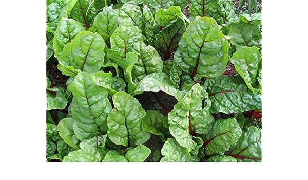 200 semillas Acelga roja Jumbo Pack de no GMO paquetes adicionales ...