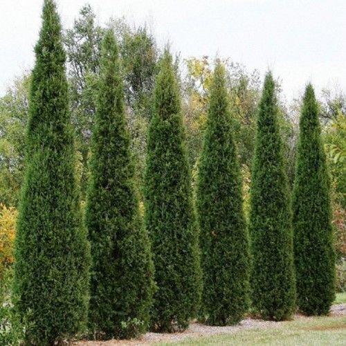 25 Seeds - Eastern Red Cedar Tree Seeds (Juniperus virginiana)