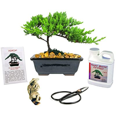 Juniper Bonsai Tree Gift Live Plant 6 Years Outdoor Fertilizer Figurine Clippers - HGarden365: Garden & Outdoor