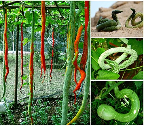 4 Multicolored Long SNAKE GOURD Vine Seeds