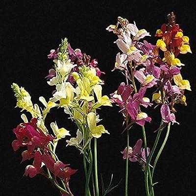 Amazon com : Spurred Snapdragon Linaria Flower Garden Seeds