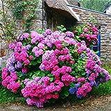 Doppia 11 Vendita 100pcs ortensia Semi Planter Bonsai Seed Flower Garden Pianta in vaso Piante ornamentali in casa miscela di colore Flores Pot