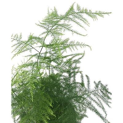 Fern Leaf Plumosus Asparagus Fern - 4