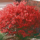 Dwarf Burning Bush - Size: 2 Gallon (Euonymus alatus 'Compacta')