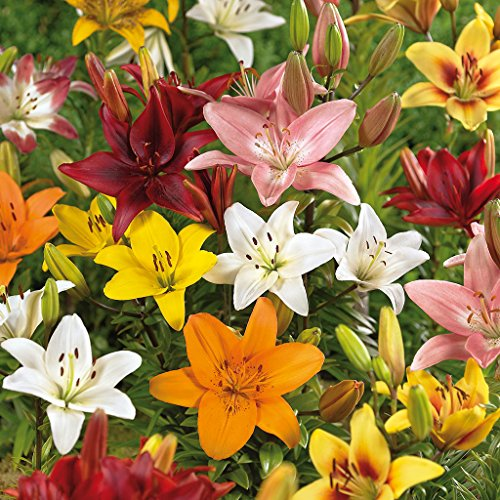 Van Zyverden Lilies Asiatic Mixed Set of 12 Bulbs by VAN ZYVERDEN
