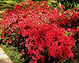 Azalea Rhododendron 'Red Ruffle' Red Qty 40 Live Flowering Evergreen Plants