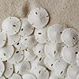 "Tumbler Home Certified Small Natural White Sand Dollars 50 Pcs - Wedding - Sea Shell Craft Up to 1"" - Hand Picked and Professionally Packed"