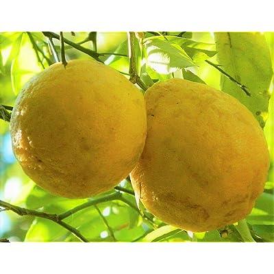 """Rare Hardy Lemon Huge Baseball Size Lemons Fruit Trees 3""""-6"""" Live Plants Citrus : Garden & Outdoor"""