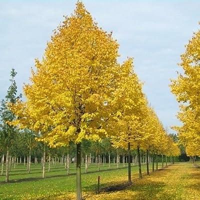 Littleleaf Linden Tree Seeds (Tilia cordata) 20+Seeds