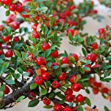 Plant World Seeds - Cotoneaster Horizontalis Seeds