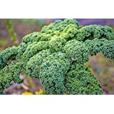 100 Dwarf Blue Curled Scotch Kale Seeds From Vates Heirloom by RDR Seeds