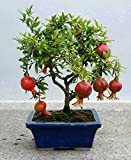 CATTERPILLAR FARM Floral Treasure Dwarf Pomegranate Fruit Plant Seeds