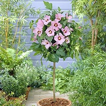 Yougarden Standard Hibiscus Hamabo Pink Tree Amazoncouk Garden
