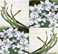 GARLIC CHIVES Seeds - ASIAN CULINARY HERBS Seed - GARLIC FLAVOR Great For STIR FRY & Yi Mein Dishes