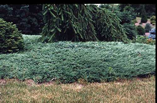 Juniper Bar Harbor Qty 60 Live Plants Evergreen Ground Cover by Florida Foliage (Image #3)