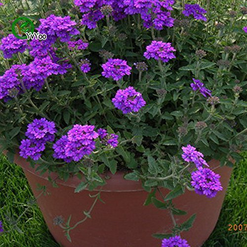 - Flower Seeds: Mixed Verbena Flower Blue everblooming Flowers Garden [Home Garden Seeds eco Pack] Plant Seeds by