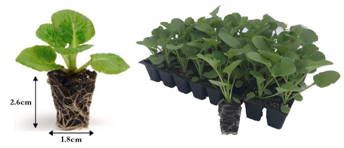 Lavender Munstead Tray of 40 Plug Plants