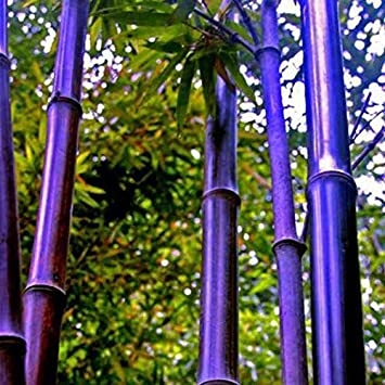 50 Stück / Packung Samen Seltene Lila Bambus Samen Glücksbambus Garten  Pflanzen Samen Garten Dekoration