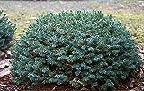 6 Year PLANT of Picea Omorika Pimoko