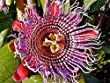 Passiflora quadrangularis Erotica | Penis Passionfruit | 10_Seeds MAKE SURE YOUR ORDER SAYS sold by BuyRareSeeds. THE BOGUS DRESS COMPANIES ON THIS LISTING ARE SELLING COUNTERFEIT ITEMS