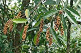 10 Seeds Citharexylum donnell-smithii Fiddlewood Tree
