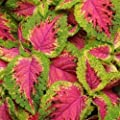 Fresh 40 seeds - Coleus Versa Watermelon Flower Seeds
