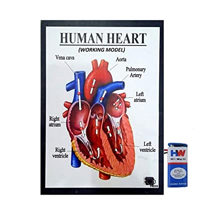 MELODY's Human Heart Working Model Science Project