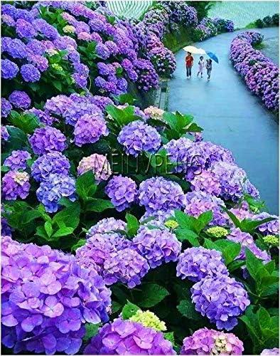 Amazon Com Chitrothu Azalea Lote De 10 Semillas De Flores Para Un Facil Crecimiento 10 Azul Purpura Jardin Y Exteriores